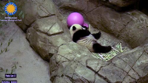 The Zoo's live Panda-cam lets fans get a panda fix anytime, night or day.