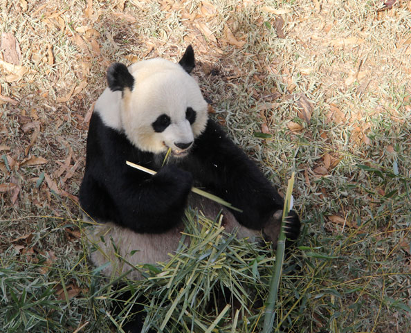 The baby panda's father, Tian Tian, is unfazed by the pandamonium.