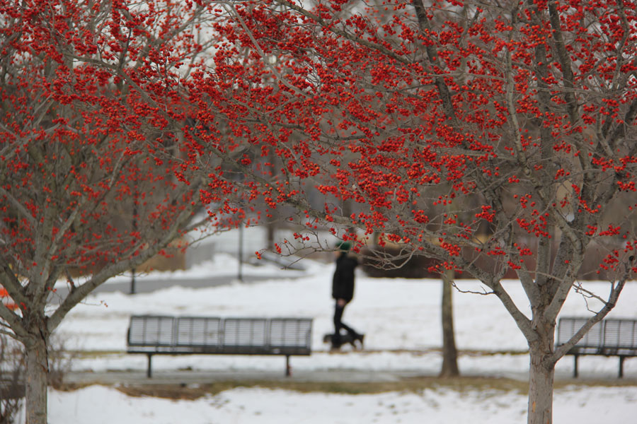 Bright berries light up the snowy Georgetown Waterfront Park.
