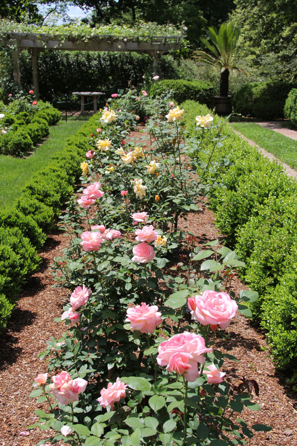 Old roses thrive in the sunny knot garden.