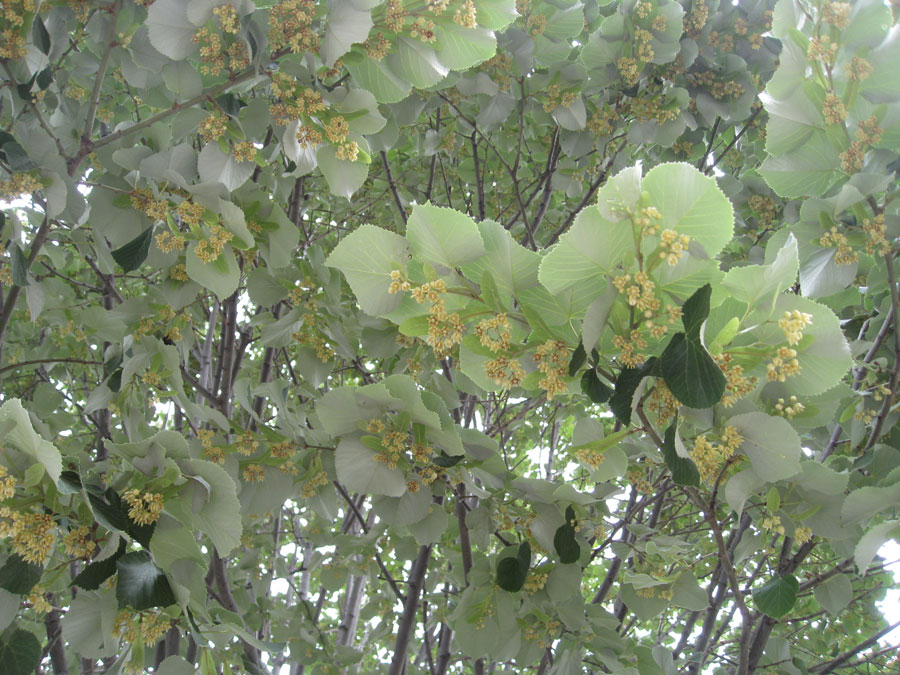 Unforgettable fragrance emanates from the nearly invisible flowers the American linden tree.