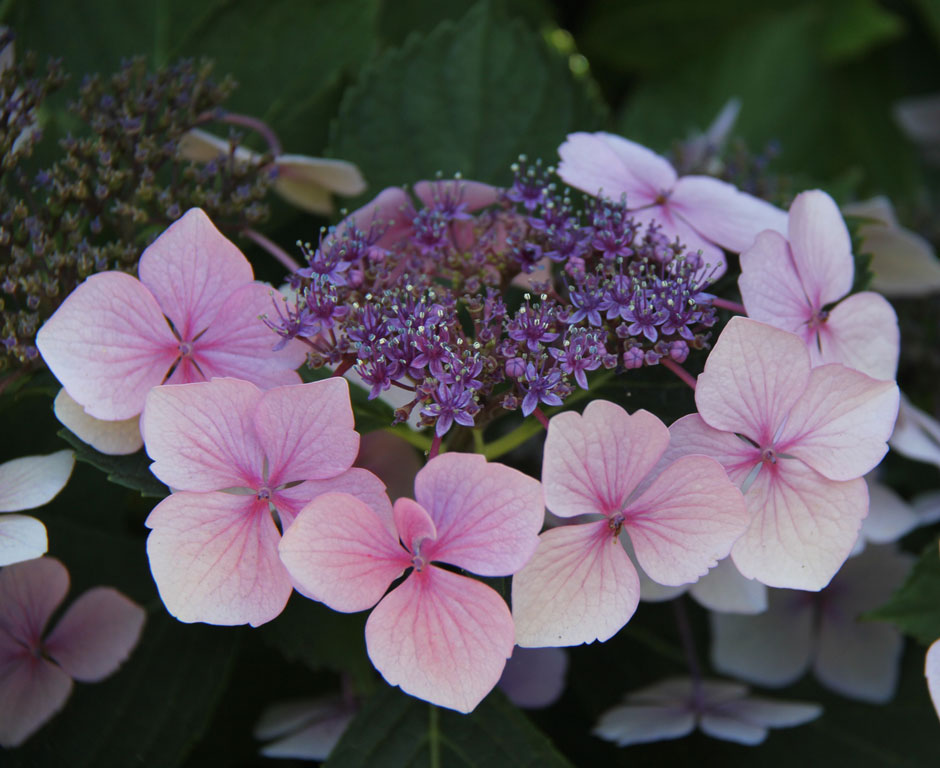 Hydrangeas light up the shady borders.