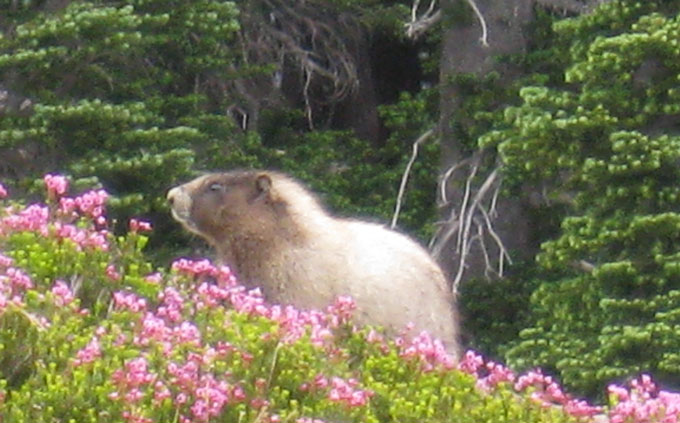 The marmot, like its cousin the groundhog, is a shy retiring type, eluding autograph seekers by hiding in a burrow.