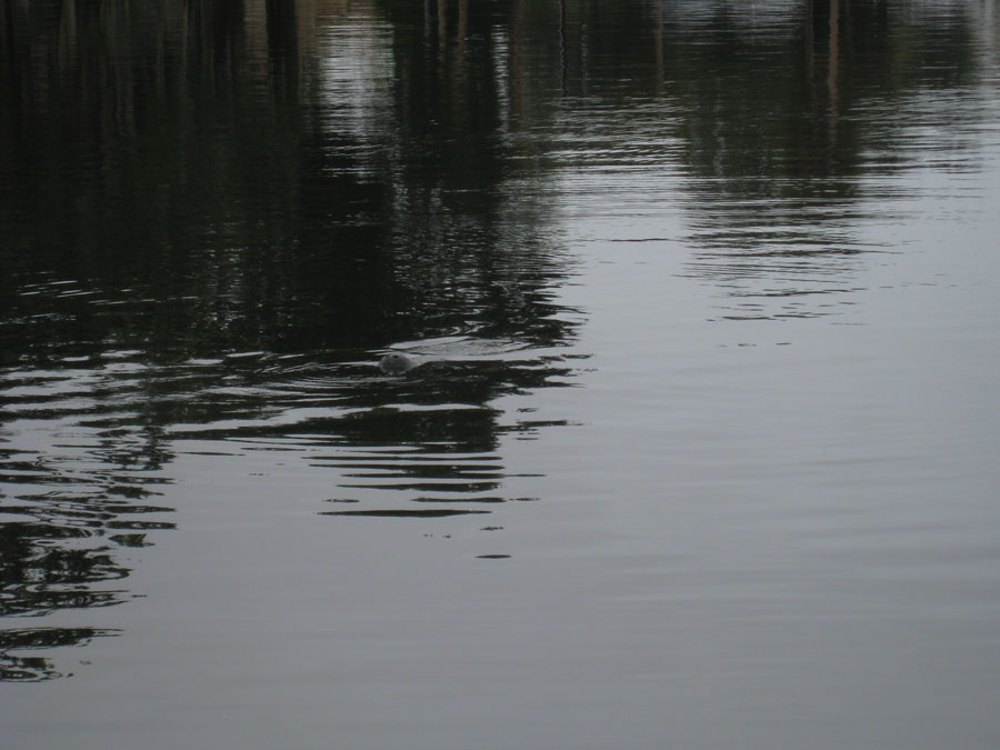 Down by still waters, the manatee is coy.