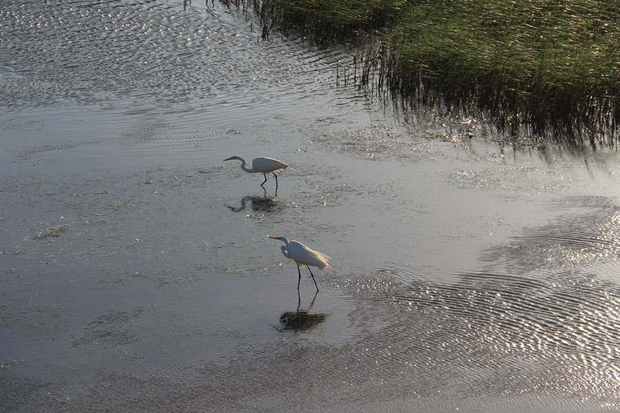 Fine feathered feeders enjoy the low tide buffet.