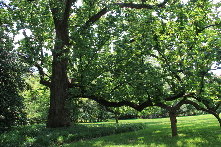 """This """"Millennium Landmark Tree"""" on the lawn is more than 200 years old. Jane would have loved it."""