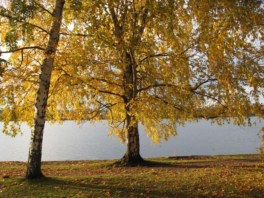 backlit-birch